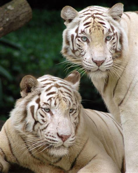 White Tiger L by De Tigres Blancos Imagui