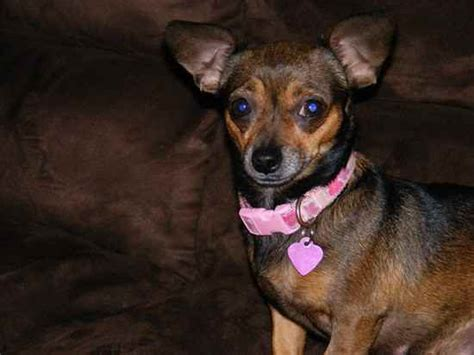 yorkie weenie precious the chiweenie designer photo gallery 2468