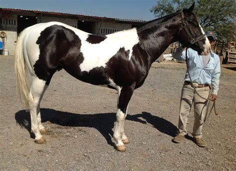 caballos cuarto de milla doma de caballos a la alta escuela caballos cuarto de