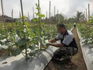 Buku Pedoman Bertanam Melon pedoman budidaya melon agrokompleks mmc