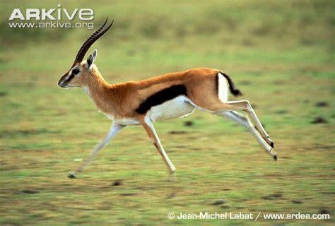 Boneka Bantal Running Serengeti Animal Kingdom thomson s gazelle photo eudorcas thomsonii g28291 arkive