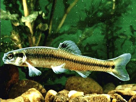 Freshwater Fish | avenger blog freshwater fish pictures
