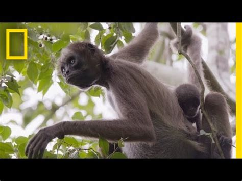 why do monkeys swing on trees swing through the trees with amazing spider monkeys