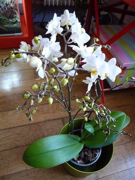 phalaenopsis 224 petits fleurons blancs c 244 t 233 jardin