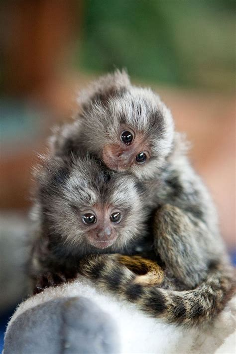baby marmoset siblings very small monkeys by charlotte geary animal magnetism