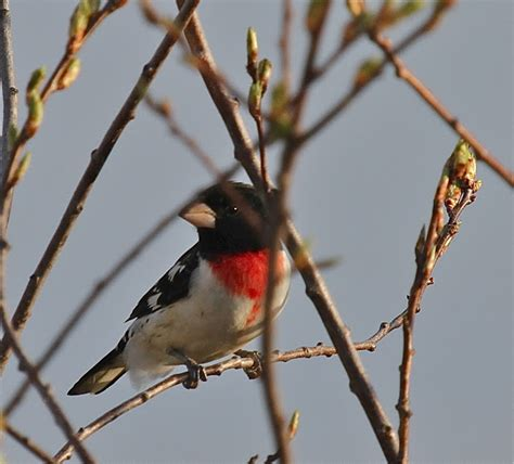 the birds and the bears rose breasted grosbeak