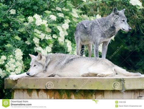 im 225 genes de un lobo gris im 225 genes y fotos reclinaci 243 n de los lobos im 225 genes de archivo libres de