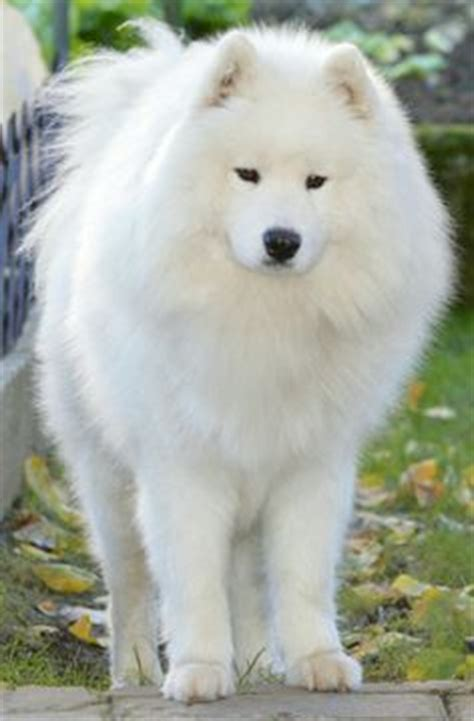 big fluffy puppies best 25 big fluffy dogs ideas on big dogs dogs and fluffy dogs