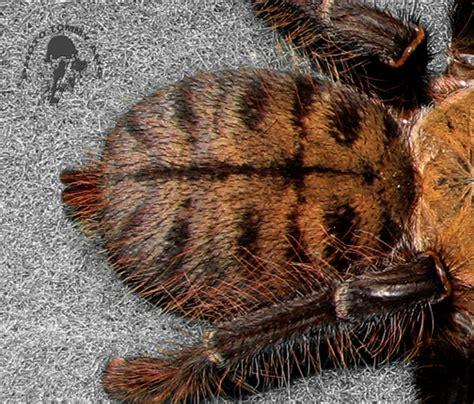 earth tiger tarantula www pixshark com images