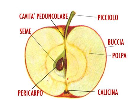 nomi derivano da fiore mela tutto sul frutto pi 249 famoso alimentipedia