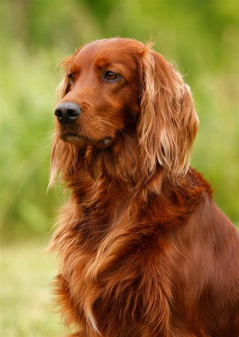 irish setter dog irish setter history personality appearance health and