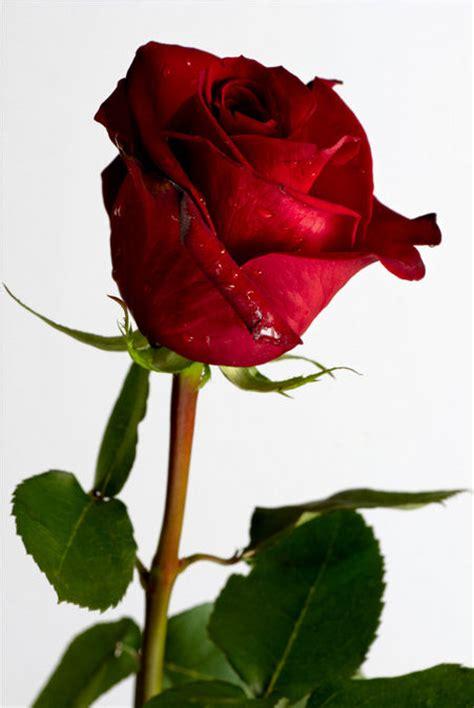 hermosa rosa rosa para facebook imagenes de rosas hermosas rosas rojas imagui