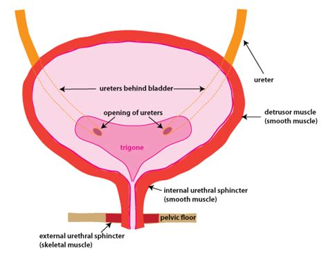 bladder diagram diagram of bladder wall choice image how to guide and