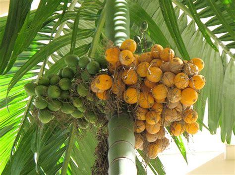 Bibit Buah Pinang pohon pinang agro sejahtera