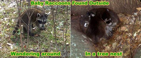 what to do if a raccoon is in your backyard care feeding baby raccoons