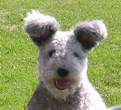 pumi puppies pumi history personality appearance health and pictures