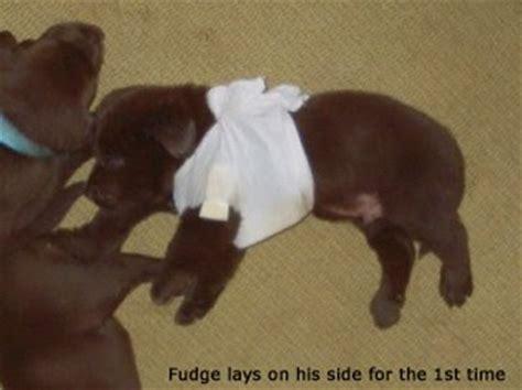 swimmer puppy lab swimmer puppy