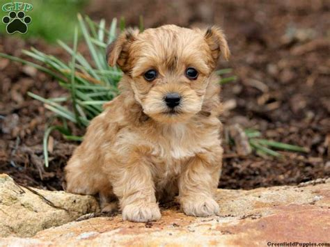 yorkies for sale pa 25 b 228 sta yorkie poo puppies id 233 erna p 229 yorkie teacup yorkie och
