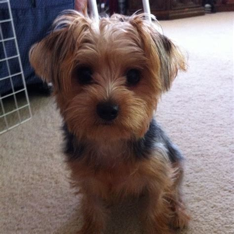 floppy ear yorkie haircuts yorkie haircut with floppy ears 17 best images about