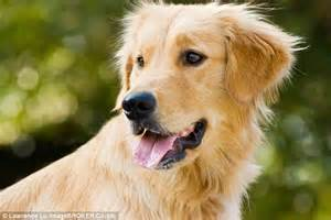 found golden retriever are spayed and neutered dogs at higher risk of cancer responsible procedure