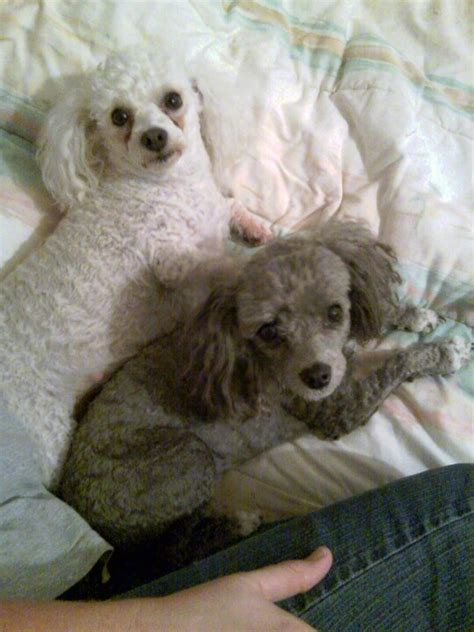1000 images about doggy doos on pinterest poodles shih 1000 images about dog on pinterest toy poodle puppies