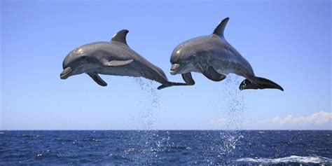 The Dolphin dolphin speech to be deciphered through ai