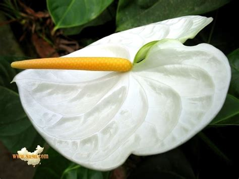 fiore anthurium anthurium significato piante appartamento anthurium