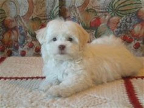 half maltese half shih tzu for sale 1000 images about puppies on maltese shih tzu maltese and shih tzu