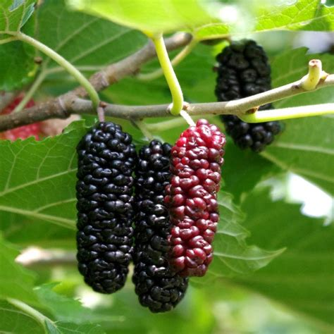 when do mulberry trees fruit illinois everbearing mulberry mulberry trees stark bro s