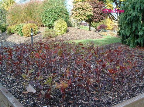 japanese maple tree care facts and growing tips