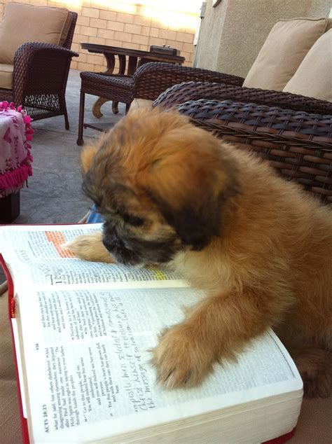 shih tzu books 3358 best images about shih tzus on