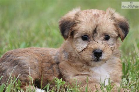yorkie puppies for sale in denton tx yorkie poo breeds picture