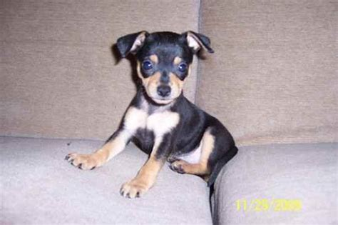 chipin puppies chipin chipins chihuahua x miniature pinscher