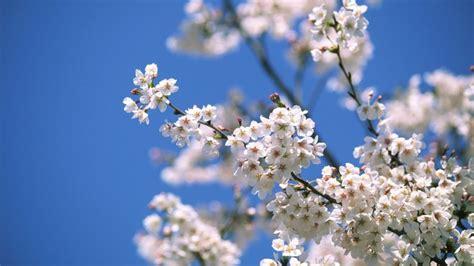 alberi fioriti in primavera 8 alberi per salutare la primavera significato e