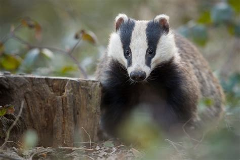 Badger Cull Petition by Open Letter To Uk Chief Vet On Advice To End Badger Cull