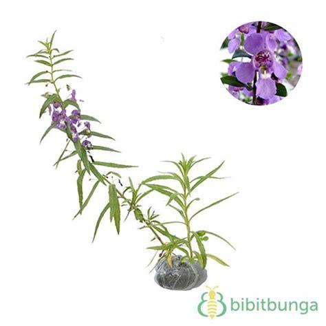 Tanaman Bunga Hias Lavender tanaman angelonia ungu false lavender jual tanaman