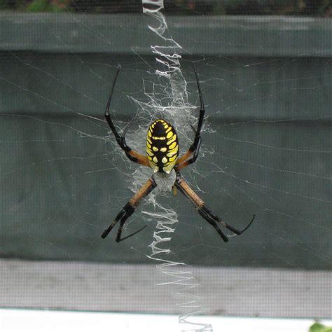 Black And Yellow Garden Spider Kill Yellow Garden Spider Or Writing Spider Flickr