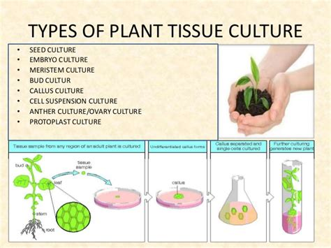 plant cell tissue and organ culture cell suspension plant tissue culture technique and its applications