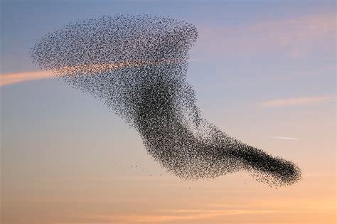 download wallpaper birds flock swarm vortex free