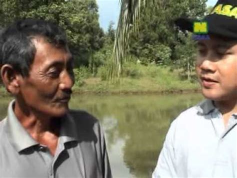 Bibit Ikan Bawal Air Tawar Bogor pemijahan ikan gurame oleh pak yusuf di desa pabuaran k