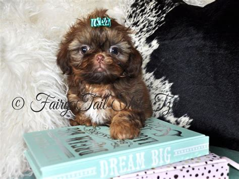fairytale shih tzu 63 best shih tzu images on shih tzus and tales