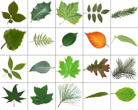 different trees and their names leaves images quiz