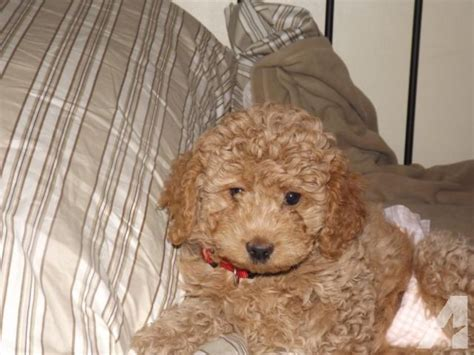 mini labradoodles for sale in pa miniature labradoodles for sale in homer city