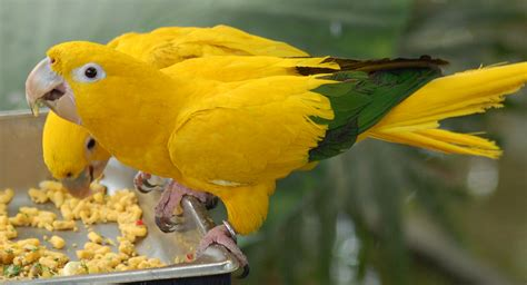 1000 images about golden conures on pinterest conure parakeet and parrots