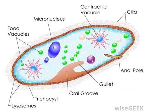 diagram of paramecium paramecium diagrams hd diagram site