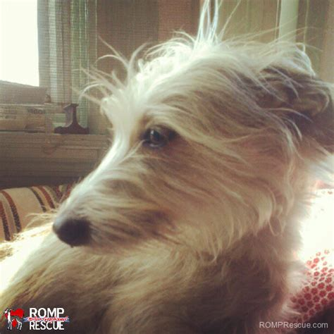 yorkie italian greyhound mix ready for adoption italian greyhound rat terrier mixed breeds picture