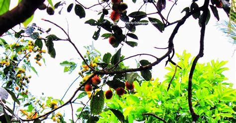 Bibit Rambutan Antalagi pohon rambutan berusia ratusan tahun di tasikmalaya
