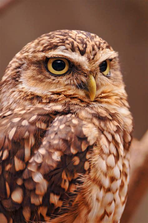 フリー画像 動物写真 鳥類 猛禽類 梟 フクロウ アナホリフクロウ フリー素材
