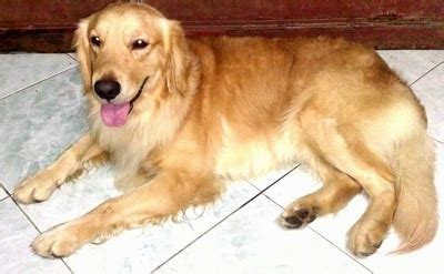 golden retriever as pet golden retriever breed information and pictures