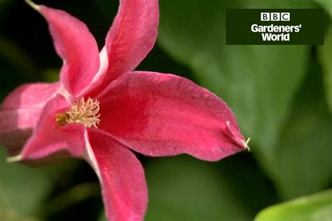 3 easy ways to plant clematis with pictures wikihow two ways to grow clematis in borders gardenersworld com